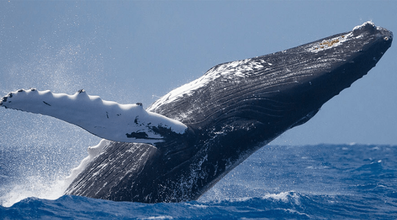 Humpback Comeback!, Whales Teach Human Beings How To Behave?